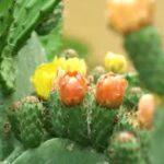fiori di fico d'india